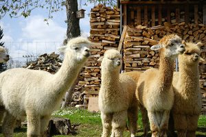 Besuchen Sie die Alpakas in Raddusch