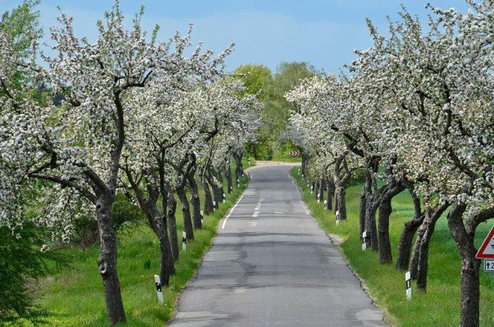 Obstbaumallee nach Döllingen | Foto: